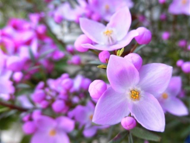 ボロニアとは?ヘテロフィラなどの品種や花言葉などの特徴をご紹介!