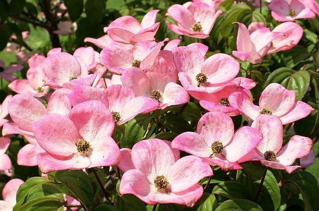 ハナミズキってどんな花?シンボルツリーにもなる花の特徴や種類を紹介!
