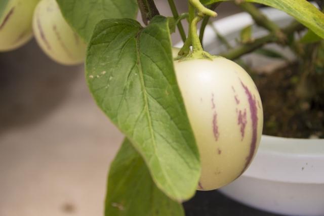 ペピーノとは?果物としての特徴や食べごろの見分け方や食べ方を紹介!
