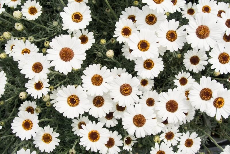 ローダンセマムとは?おすすめの寄せ植え方法など上手な飾り方も紹介!
