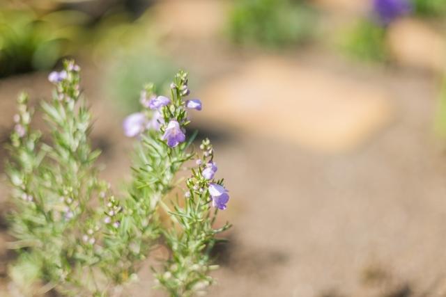 ミントブッシュとは?花や葉の特徴や育て方をご紹介!名前の由来は?