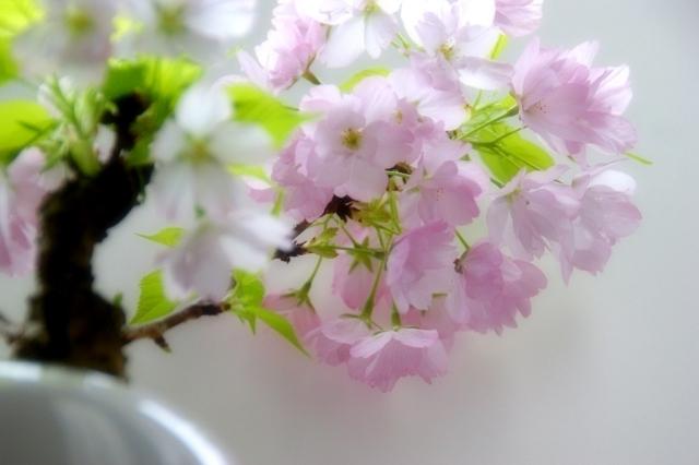 一才桜とは?その代表的な品種や特徴・育て方を紹介!開花時期は?