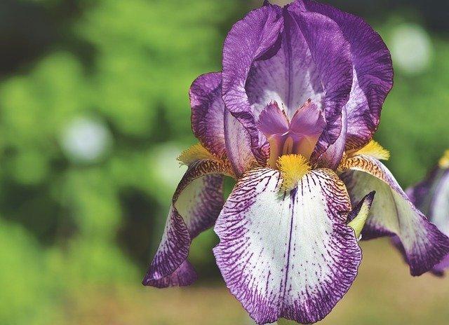 チグリジアの花言葉は?色別や品種別の花言葉はある?特徴や模様も紹介!
