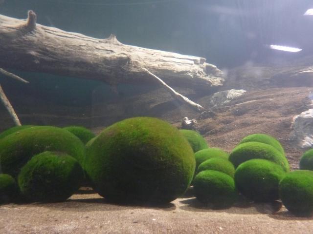 まりも(毬藻)の育て方!水温や水換えの仕方など管理のコツをご紹介!