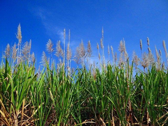 サトウキビの育て方!植え方や増やし方などの栽培条件を詳しくご紹介!