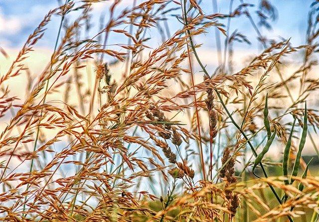 イヌムギ(犬麦)とは?名前の由来や雑草としての特徴や見分け方を紹介!