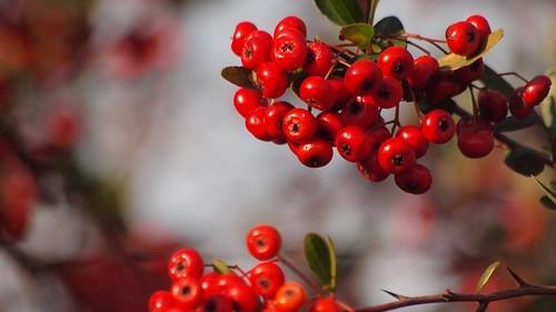 ピラカンサスとは?生垣にも用いられる常緑樹の特徴や育て方をご紹介!