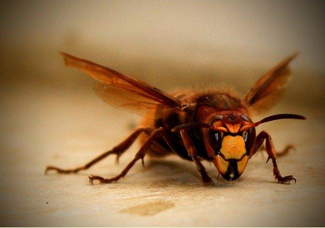 スズメバチに天敵はいるのか?庭の駆除目的で有効利用することはできる?