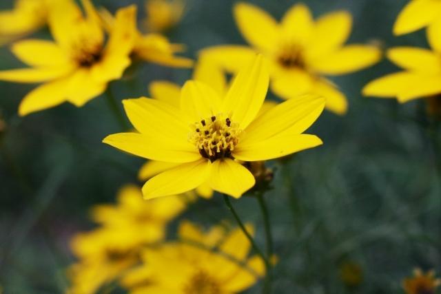 コレオプシスの育て方!主な品種や美しい花を咲かせるためのコツを解説!