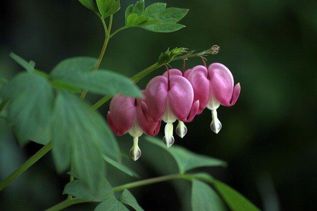 ケマンソウとは?花の特徴や開花時期、植え替えなどの育て方を紹介!