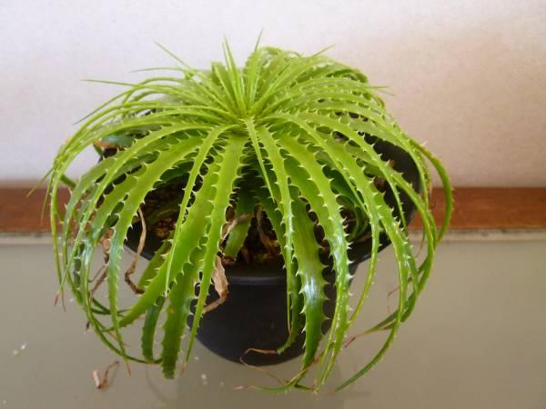 エンコリリウムとは?葉の特徴や増やし方・育て方のコツなどを紹介!