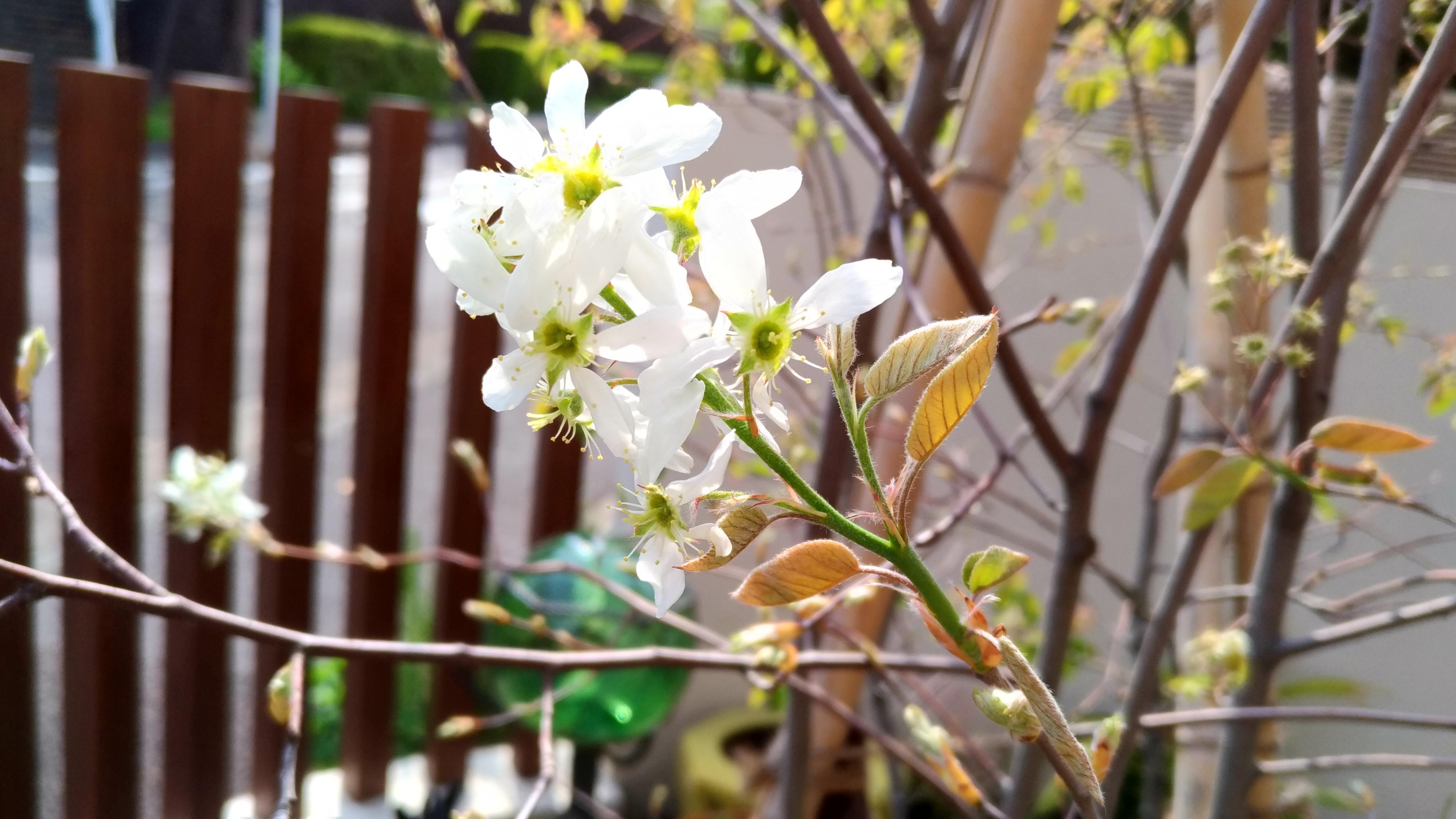 ジューンベリーとは?品種ごとの特徴や開花・紅葉の時期などをご紹介!