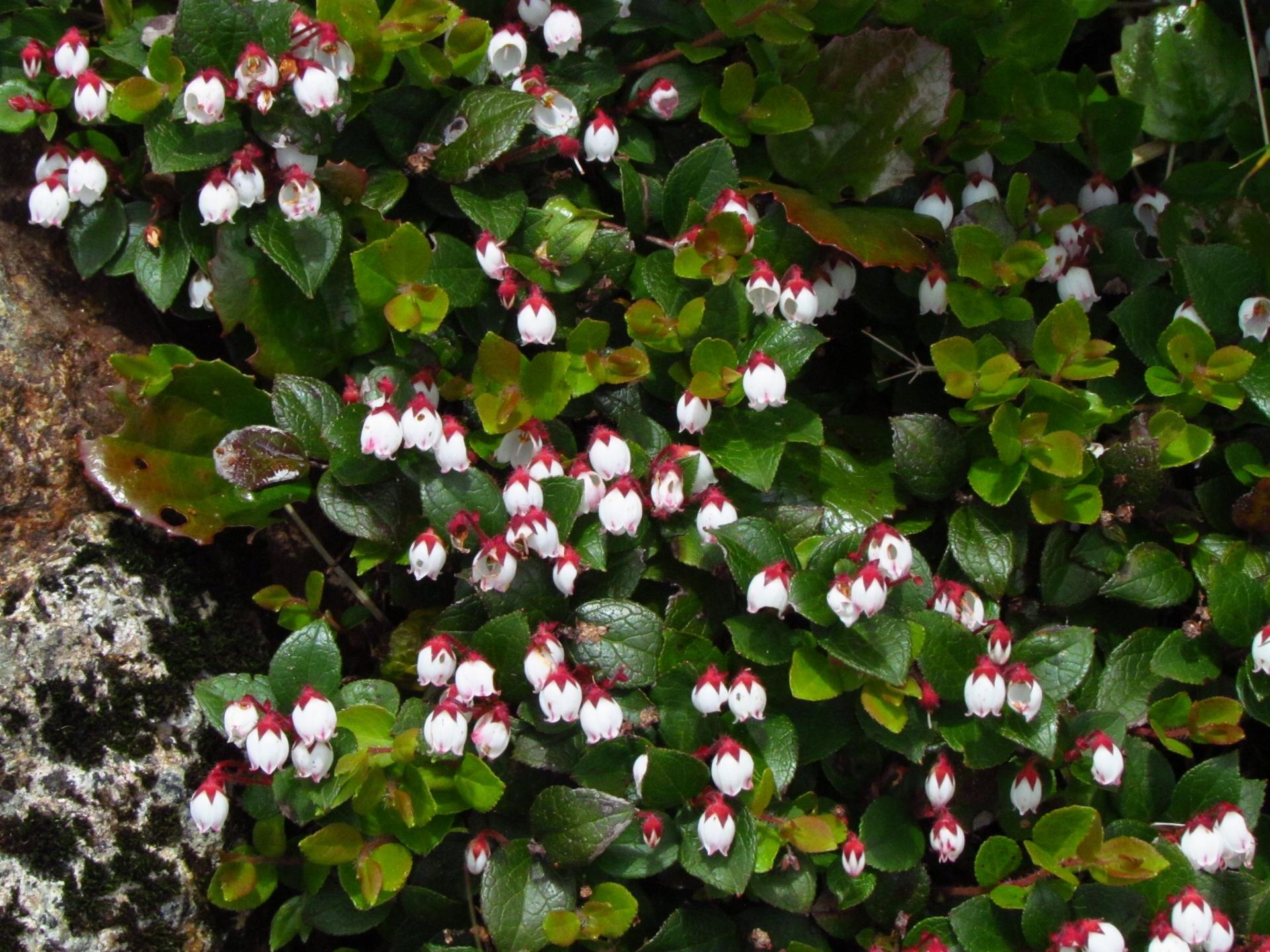 アカモノとは?植物の特徴やシラタマノキなど似た花との違いを解説!