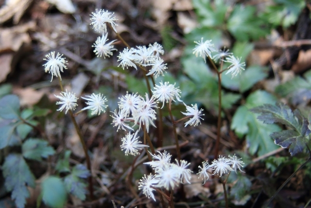セリバオウレンとは?生薬にもなる?植物の特徴や管理の仕方を紹介!