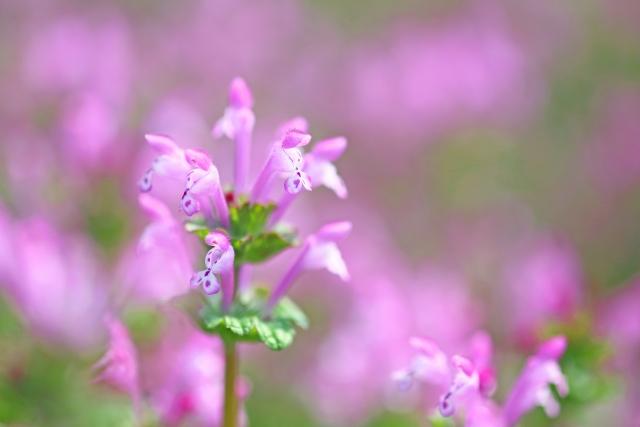 ホトケノザ(仏の座)とは?特徴・種類や似た植物との違いをご紹介!