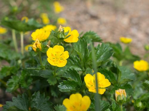 ミヤマキンバイとは?特徴や開花時期など似た植物との違いをご紹介!