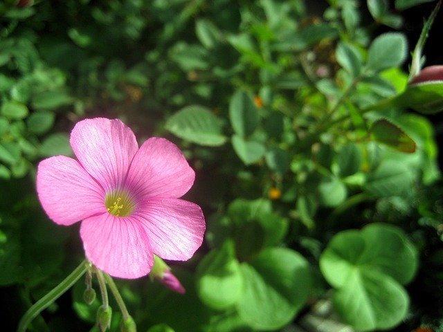 アメリカフウロとは?草花の特徴や薬効を紹介!効果的な駆除方法は?