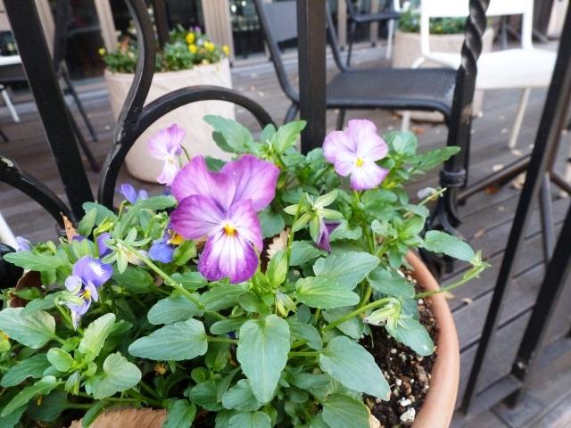 サクラスミレってどんな植物?葉や花の特徴や品種、花言葉までご紹介!