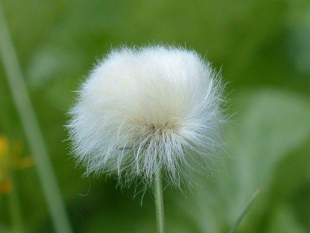 ワタスゲとは?開花時期や見頃の季節、おすすめスポットなどをご紹介!