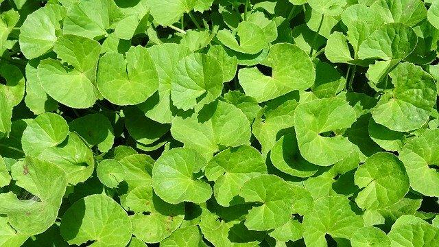 ツボクサってどんな植物?品種や特徴から美容への効果・効能まで解説!