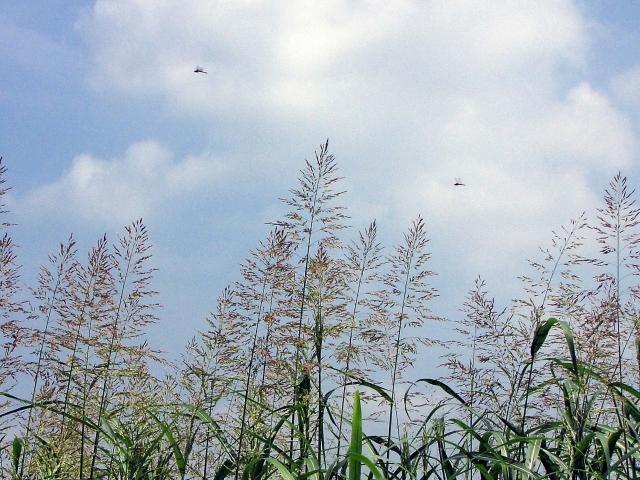 ダンチク(暖竹)とはどんな植物?食べられる?特徴や利用法をご紹介!