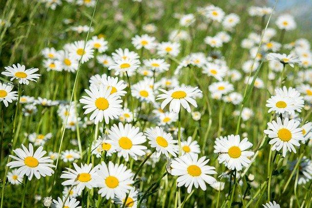 マーガレットの育て方!枯らさず大きな花を咲かせる管理のコツを紹介!