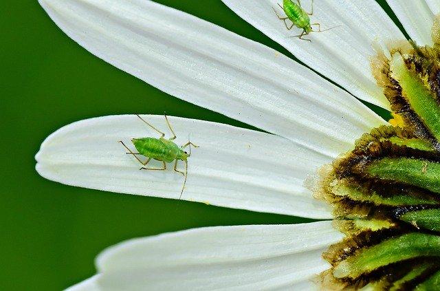 油虫(アブラムシ)の生態を紹介!種類や天敵にはどんなものがある?