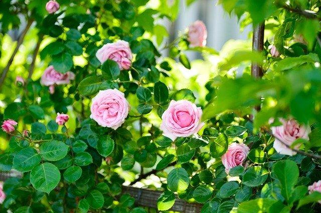【東京近郊】おすすめの薔薇園ランキングBEST10!見頃の時期や特長を紹介!