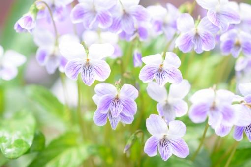 スミレの花をもっと知りたい!その種類・特徴・花言葉や育て方を解説!