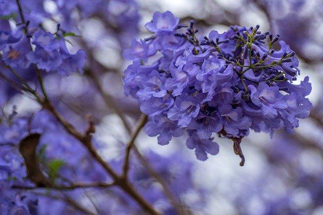 ジャカランダの花が見れるスポットはどこ?花言葉などの特徴もご紹介!