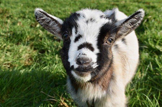 ヤギ除草とは?雑草防除の方法としてのヤギの有用性やデメリットを解説!