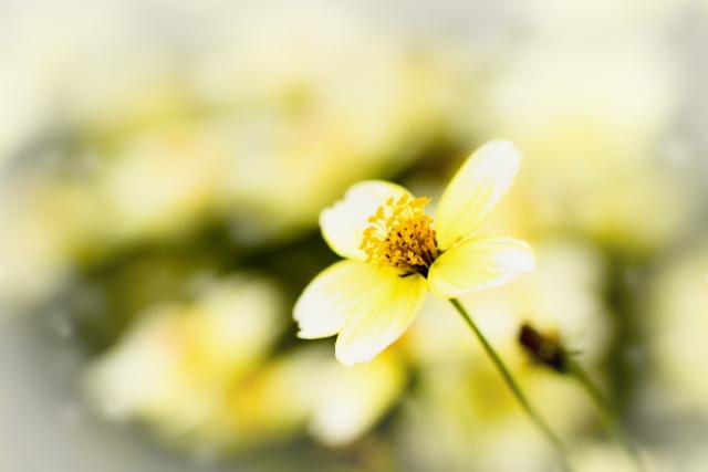ウインターコスモスとは?花言葉・開花時期などの特徴や育て方を解説!