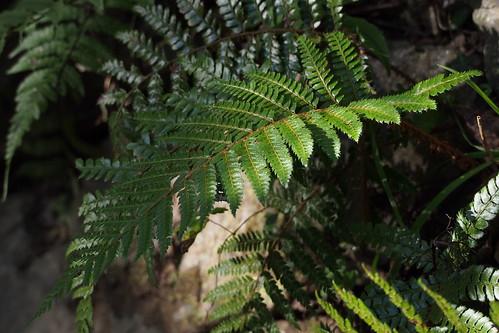 イノデとはどんなシダ植物か?特徴・見分け方・生態などをご紹介!