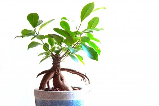 ガジュマルの育て方!種まきから剪定方法や植え付けまで詳しく解説!