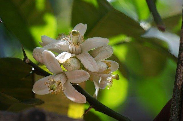 レモンにも花は咲く!白い可憐な花の特徴や開花時期・花言葉をご紹介!