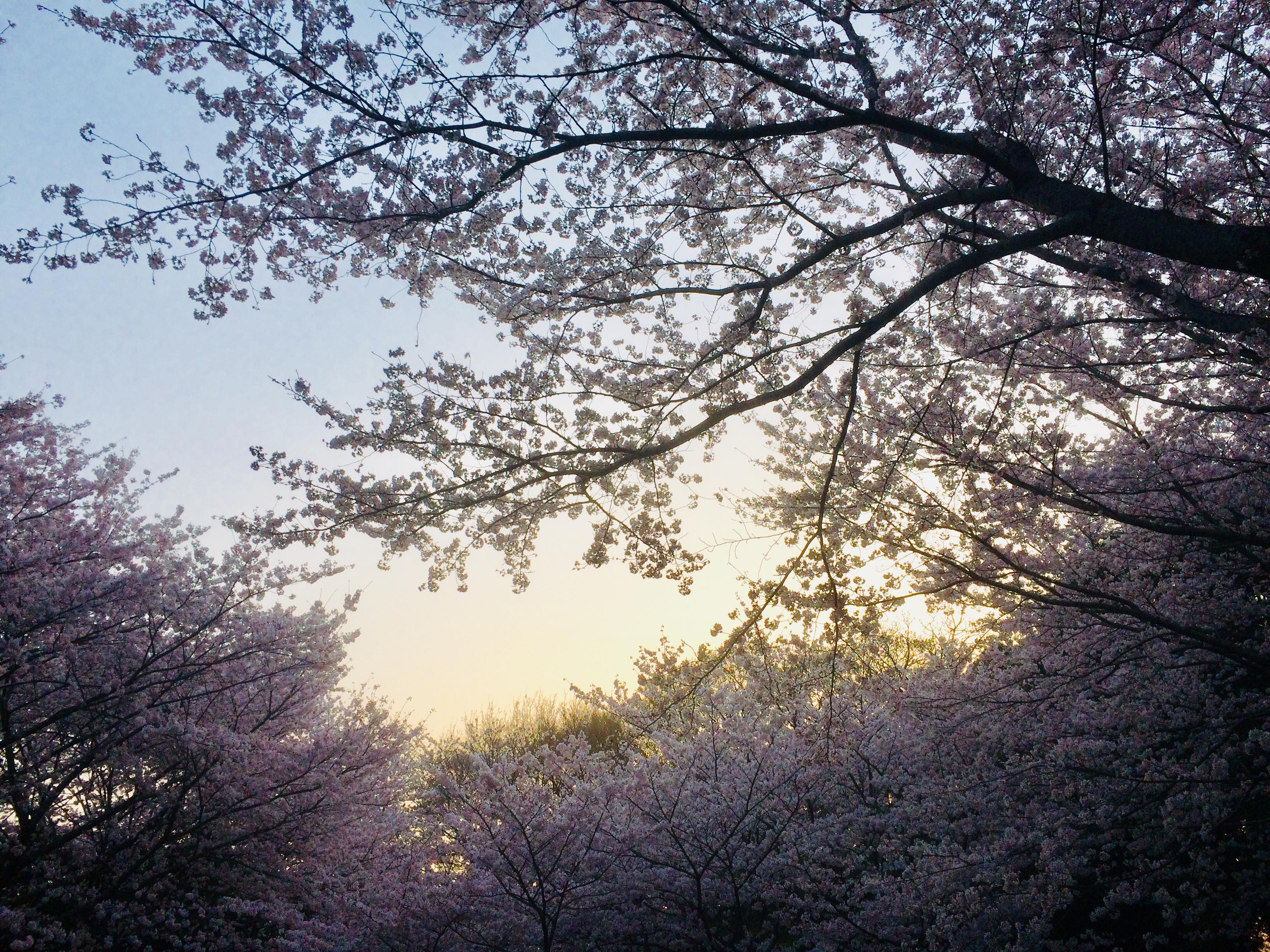 春に見られるサクラの種類19選!ソメイヨシノ以外にはどんな桜が咲く?