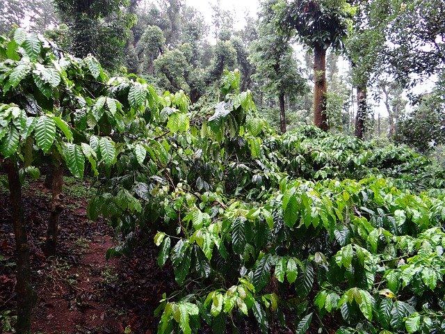 100均でも買える観葉植物「コーヒーノキ」とは?育てれば実もなる?