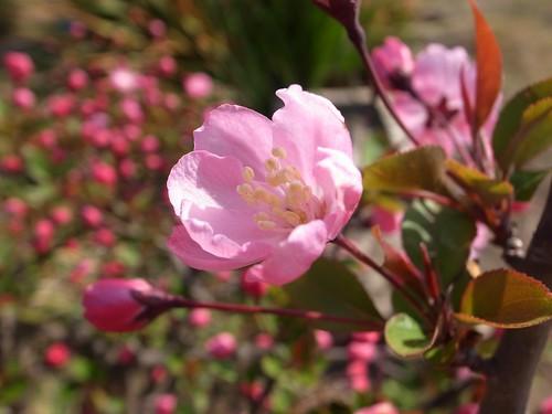 カイドウ(海棠)とは?花言葉などの特徴や桜との違いをご紹介!
