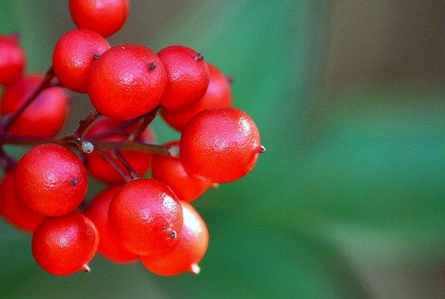 ヤブコウジ(藪柑子)とは?赤い実の特徴や開花時期・花言葉を紹介