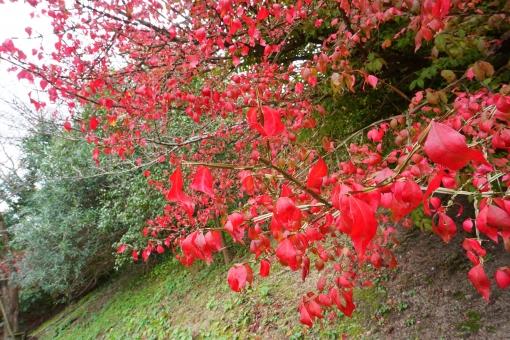 ニシキギ(錦木)とは?庭木としての特徴や育て方・管理方法を解説