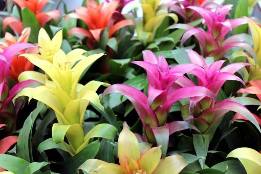 グズマニアとは?花や葉の特徴や増やし方などの育て方をご紹介!