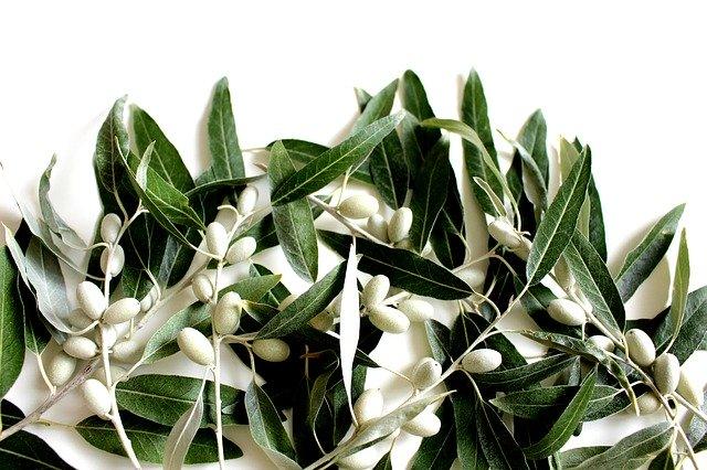 オリーブの花ってどんなの?白い花の特徴や花言葉・開花時期をご紹介!