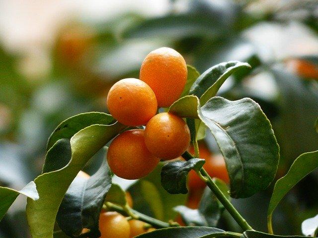 金柑(きんかん)の食べ方!保存方法やアレンジレシピまでご紹介