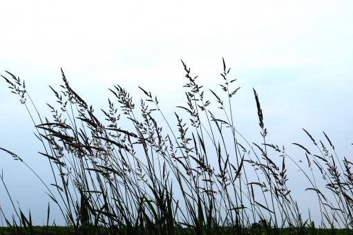 セイバンモロコシとは?植物としての特徴や見分け方をご紹介