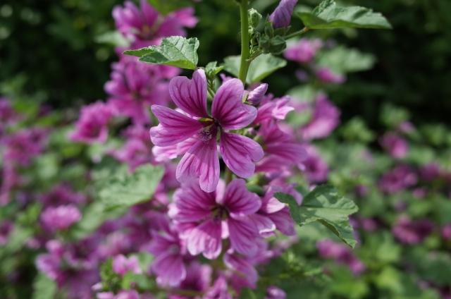 ゼニアオイ(銭葵)とは?花言葉・開花時期などの特徴や育て方を解説