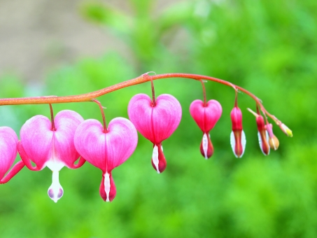 タイツリソウ(ケマンソウ)とは?花言葉などの特徴や育て方をご紹介