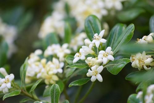 トベラとは?実や花の特徴や育て方をご紹介!強烈なにおいを放つ理由は?