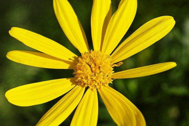 ユリオプスデージーとは?基本管理や綺麗な花を咲かせるコツを解説