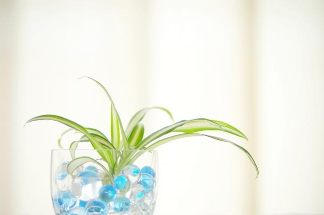 オリヅルランの特徴と育て方!植え替え方法や株分けでの増やし方を解説