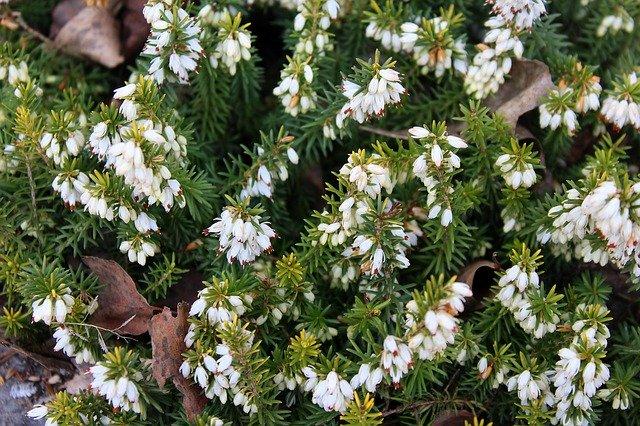 スズランエリカとは?特徴や育て方を紹介!クリスマスにピッタリの花?